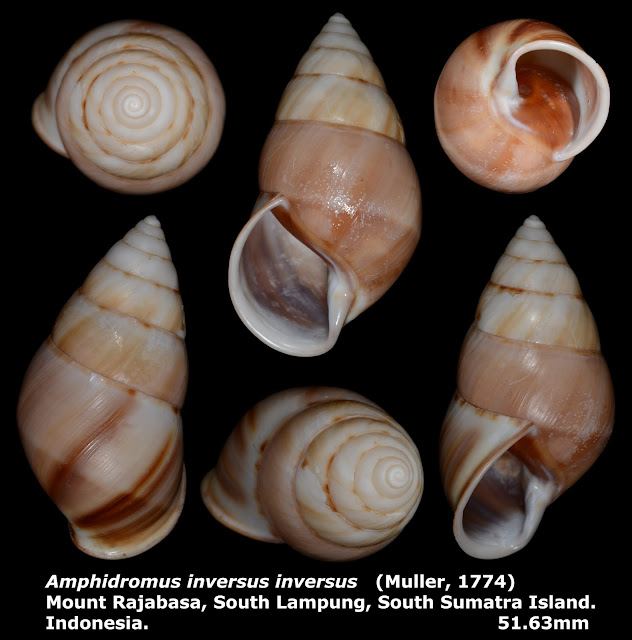 Amphidromus inversus inversus 51.63mm