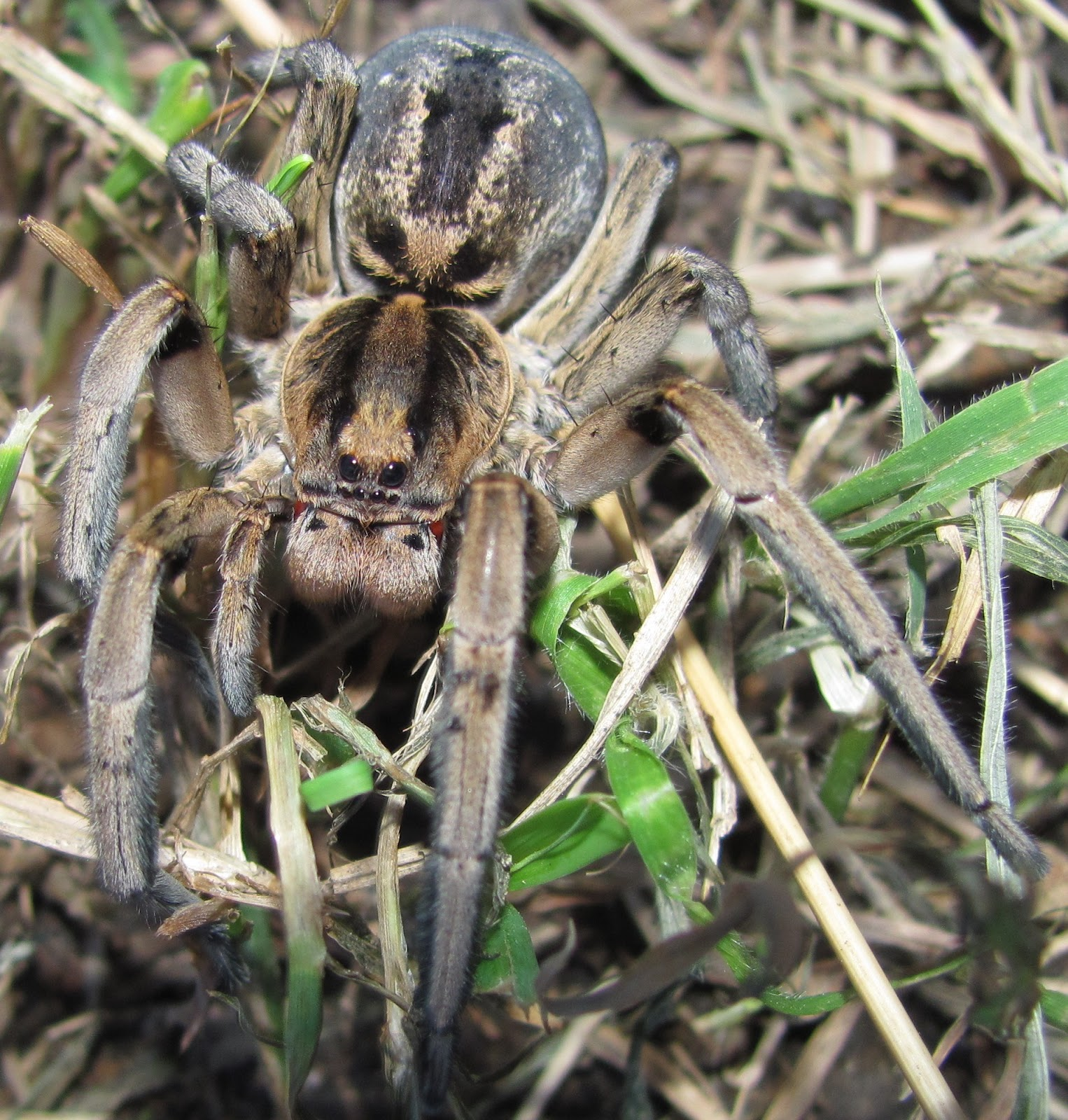 How long do wolf spiders live?