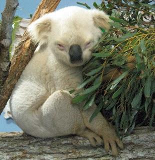 White Koala .