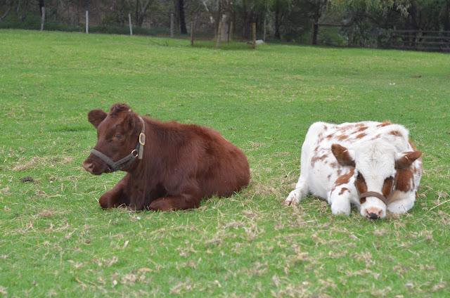 Inek Cows