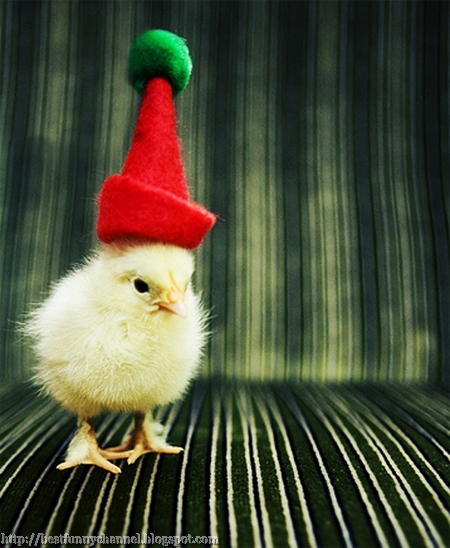 Chicken elf.
