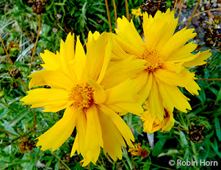 Two Sunny Yellow Coreopsis Blossoms