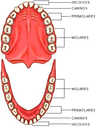 Dibujo de los dientes con sus nombres (partes de los dientes)