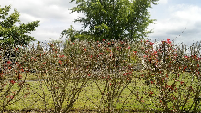 Carefully arranged shrubs conceal the Kekels' mansion off 145th and 224th in Graham, WA  and give some clue as to its huge size.  Mansion of New Testament Christian Churches of America, Inc. CEO & President