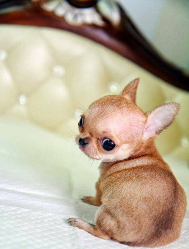 Top 5 Smallest Puppies You have Ever Seen