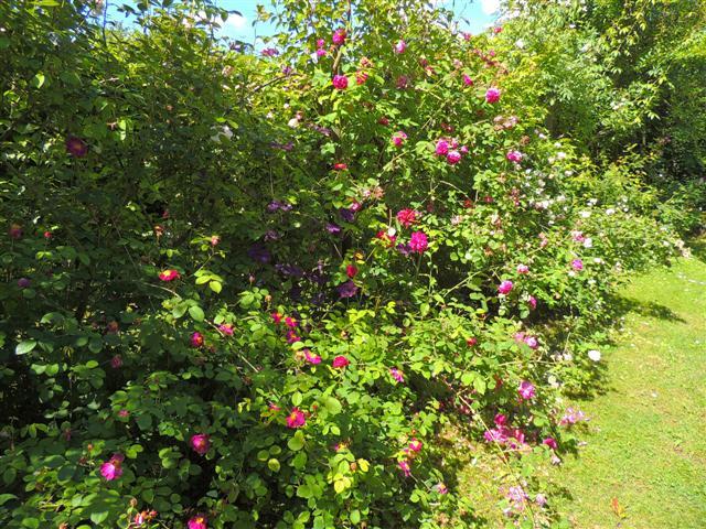 Pensieri in forma di rosa il giardino con le rose - Giardino con rose ...