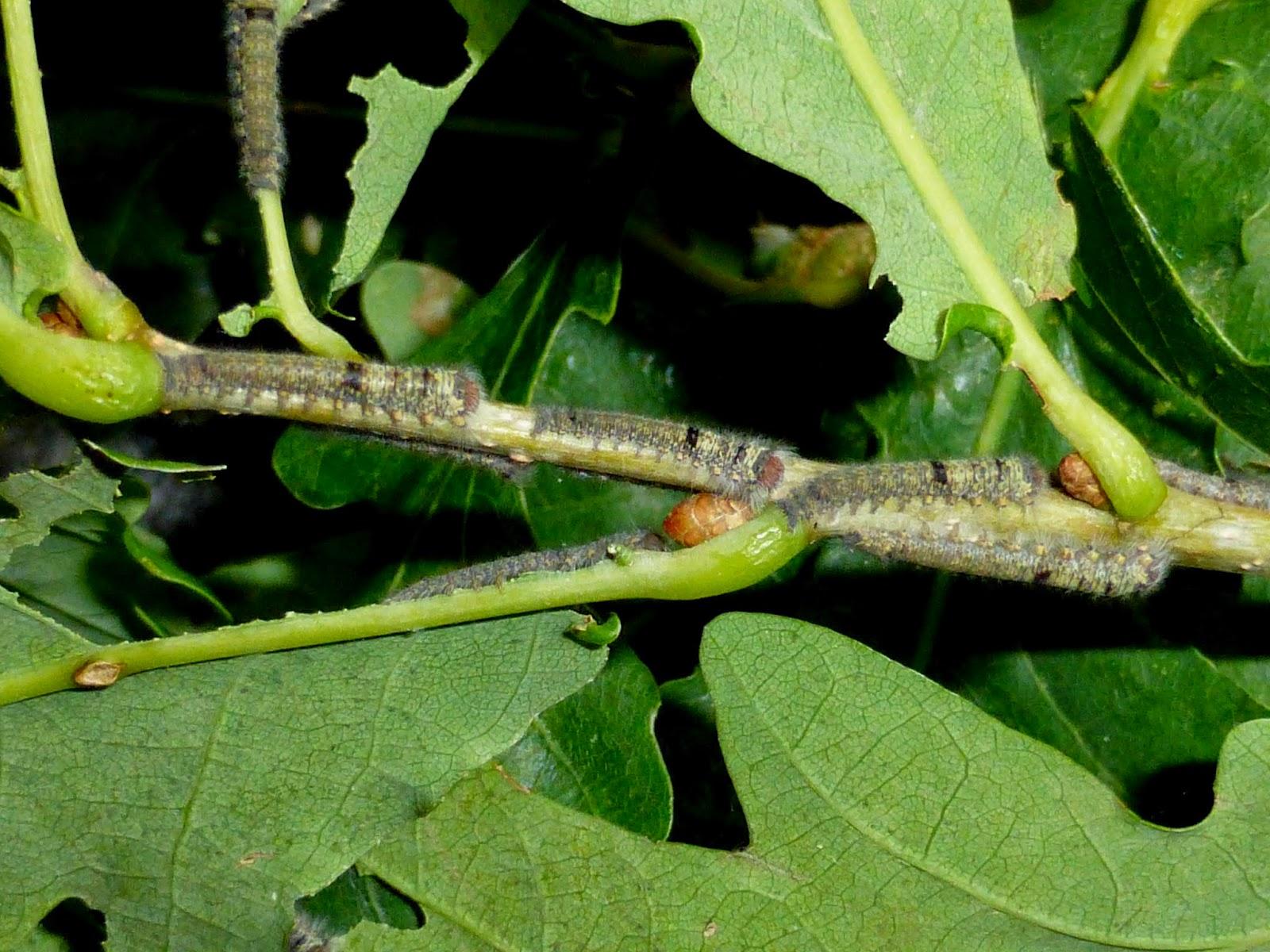 Gastropacha horishana caterpillar