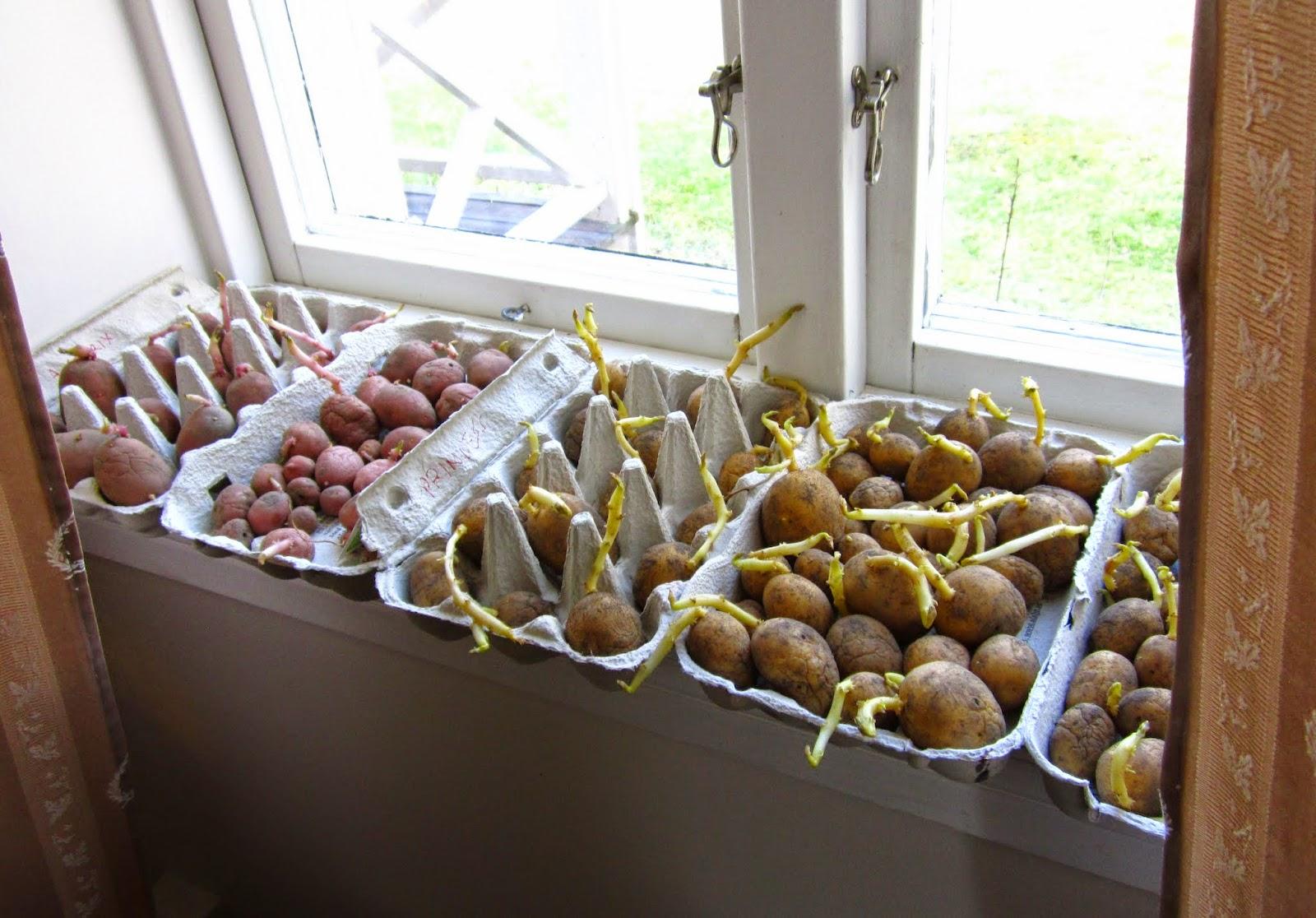 Sättpotatis, asterix, rocket, princess, Violetta, odla potatis