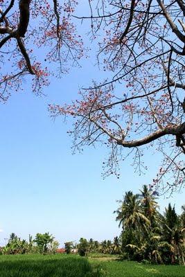 bali blossom