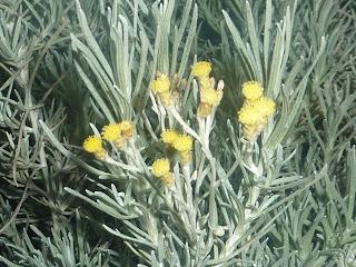 """Kleine gelbe Blüten - Immortelle """"die Wunderbare"""""""