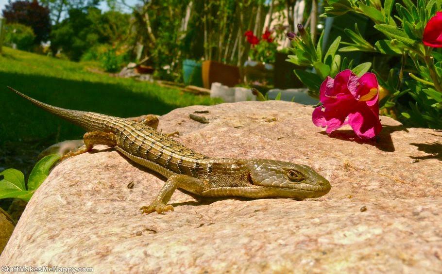 Lizard or salamander 2 (Photo by Linda Tanner)