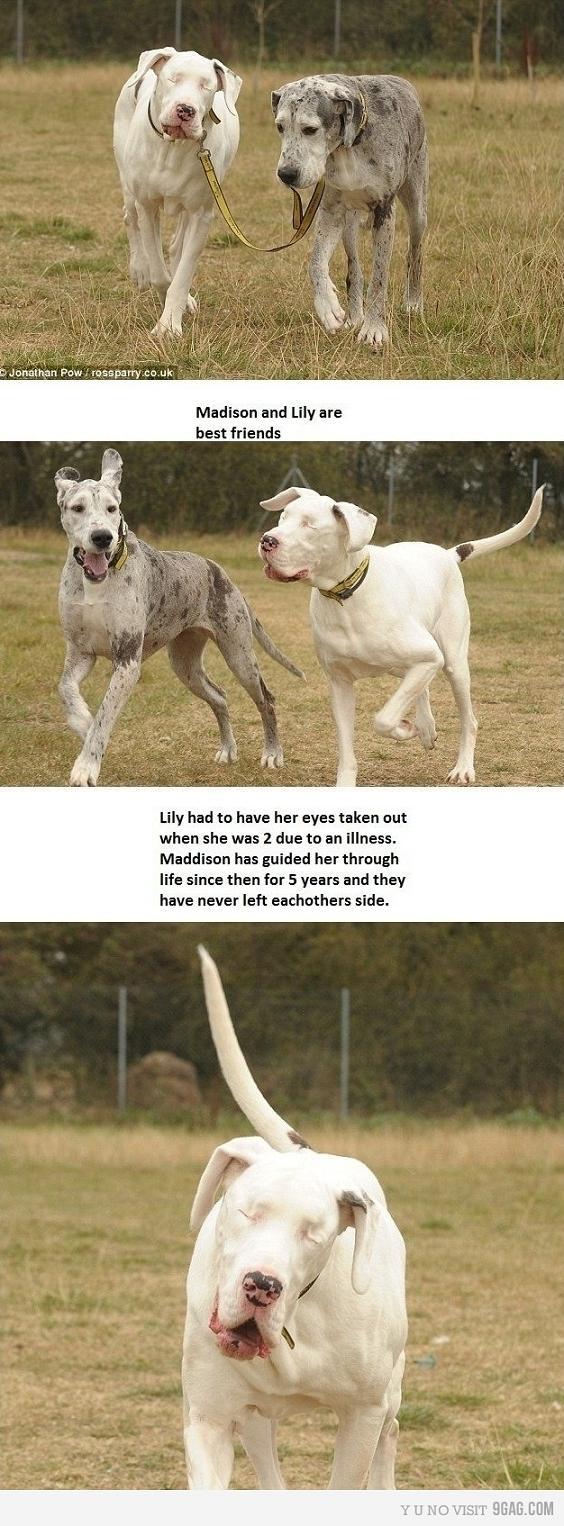 cachorro cego cadela guia