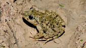 Buscando agua de vida para los anfibios de La Pila