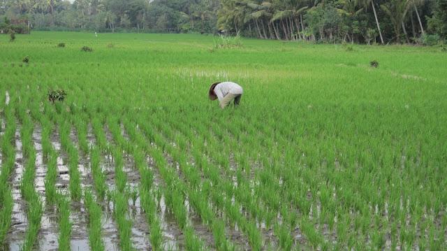 Agricultor en los arrozales de Bali