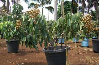 Kami menjual bibit tanaman buah lengkeng bangkok yang kami budidayakan ...