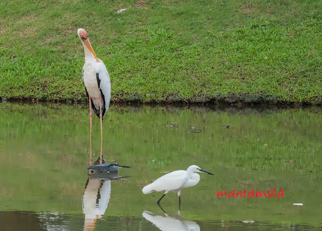 Milky Stork, Little Heron, Little Egret