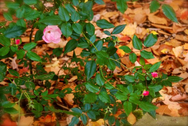 Autumn leaves and a rose in the park