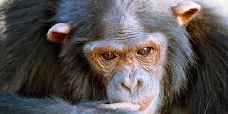 Simpanse Paling Cerdas Dan Genius