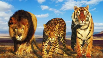 Tiger, lion and leopard genomes compared
