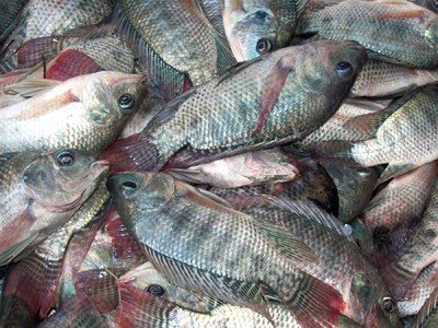 Why eating tilapia is dangerous to your health strange for Tilapia not real fish