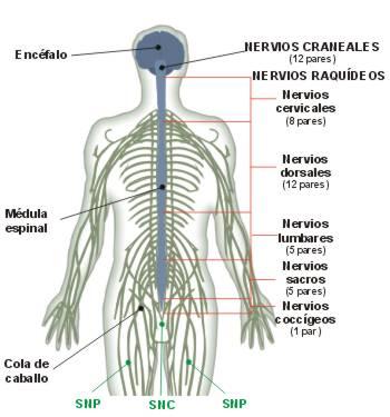 Sistemas y Aparatos: Aparato nervioso