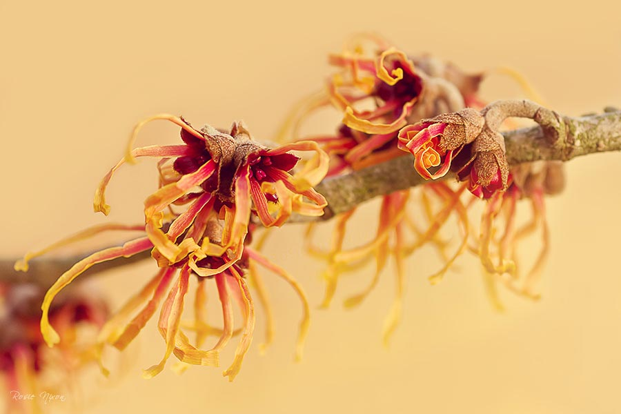 Witch hazel hamamelis intermedia Jelena flowers in January