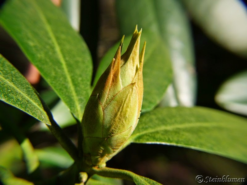 Rhododendron Knospe