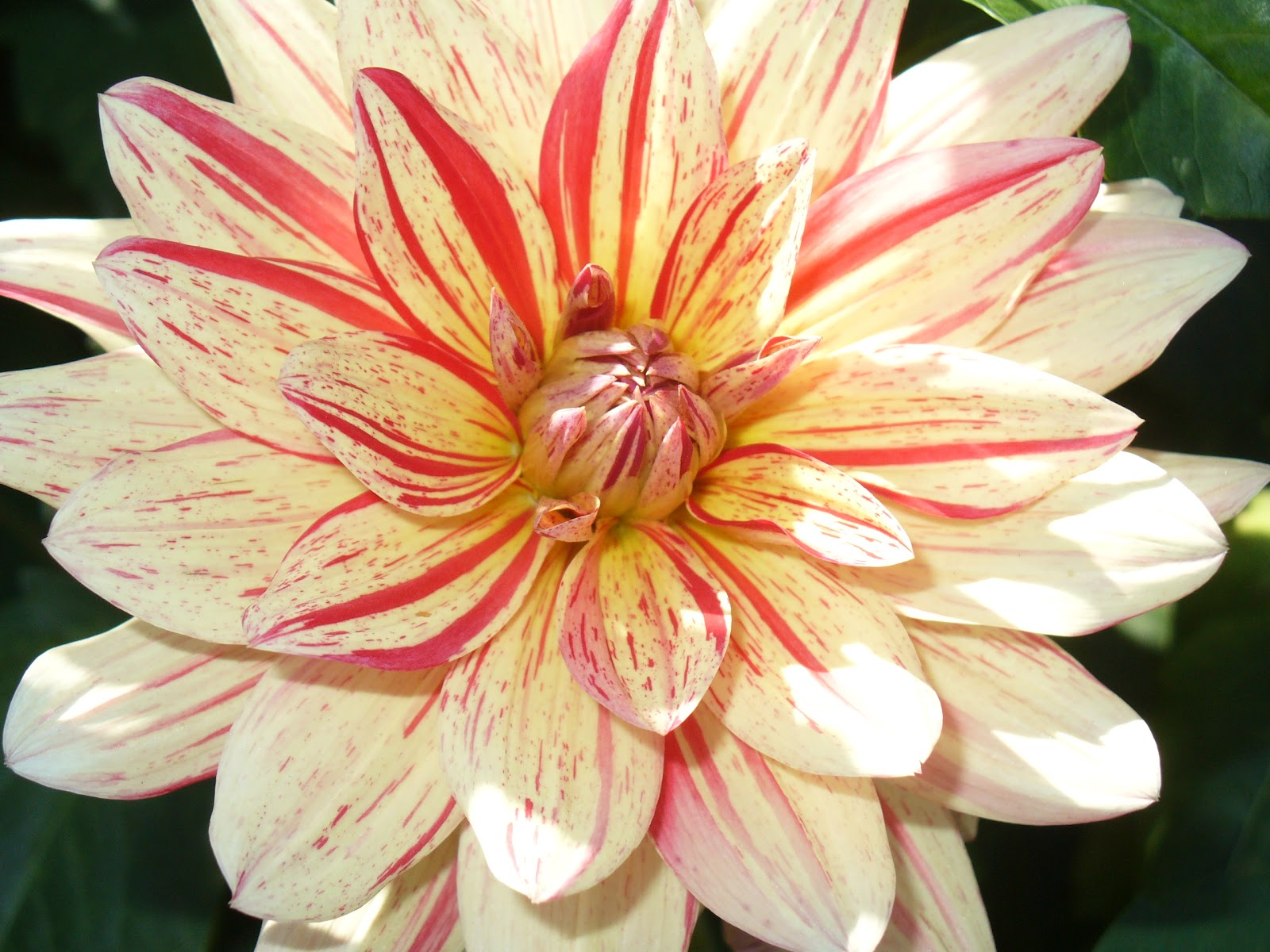 Darling dahlias plant something oregon darling dahlias izmirmasajfo