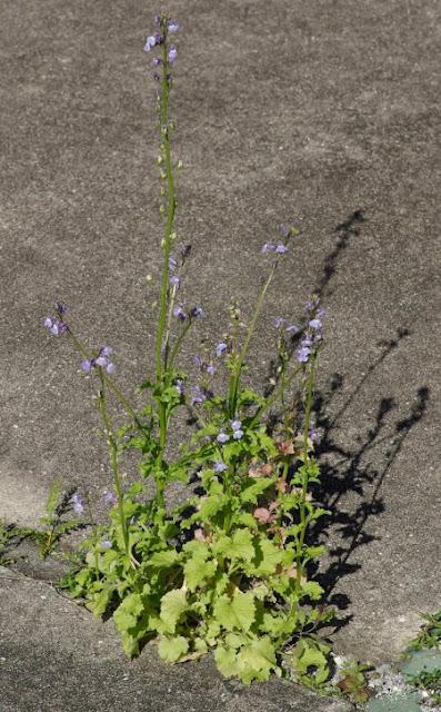 Pineland Lobelia - Lobelia homophylla