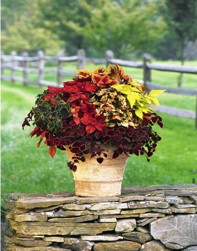 COLEUS PLANT   Feel Free To Express Yourself