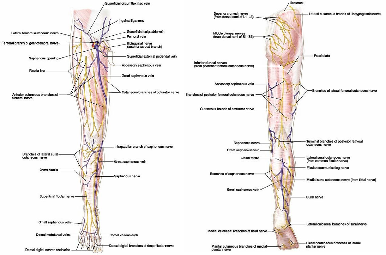Lower Limb Anatomy Free Medical Slides