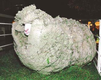 紐西蘭綿羊 史瑞克