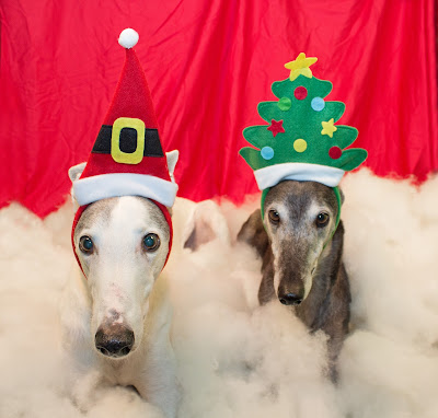 Blue and Bettina Greyhound with holiday headbands