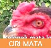 ayam bangkok mata aduan