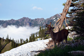 Photo of a Blacktail Deer at Olympic National Park