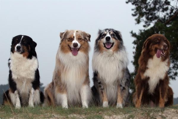 ... Many Puppies Do Australian Shepherds Have « Australian Shepherd Tips