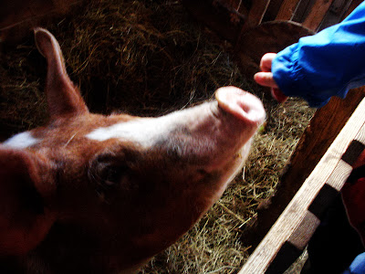 feeding the pig apples, Verger Ti-Paul, St-Elzéar, Beauce, Quebec, copyright yearling blog