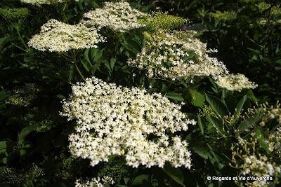 Fleurs de Sureau.