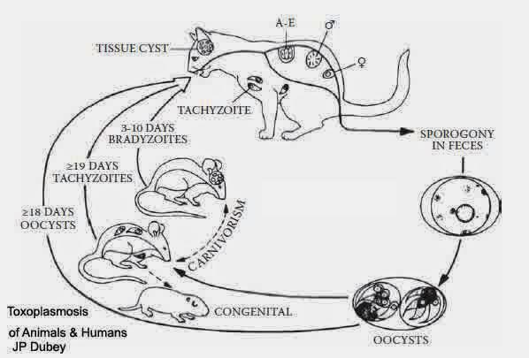 Virus Toxoplasma Pada Kucing Persia Anggora
