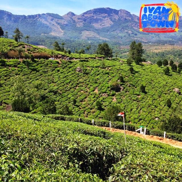 Tea plantations in Munnar, Kerala, India