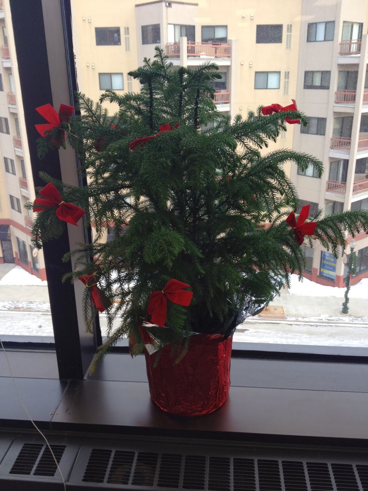 Norfolk Island Pine Care - Houseplant Care Tips