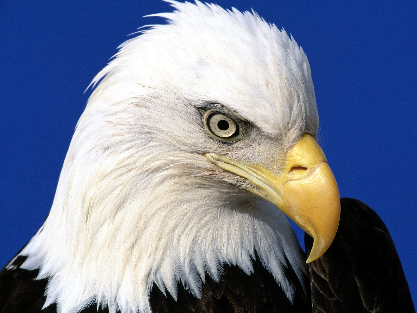 http://1.bp.blogspot.com/-rFBeB0B7ztk/Tka_VEpPNdI/AAAAAAAACGs/OJPuml7Vii4/s1600/noble-lead-bald-eagle-pictures.jpg