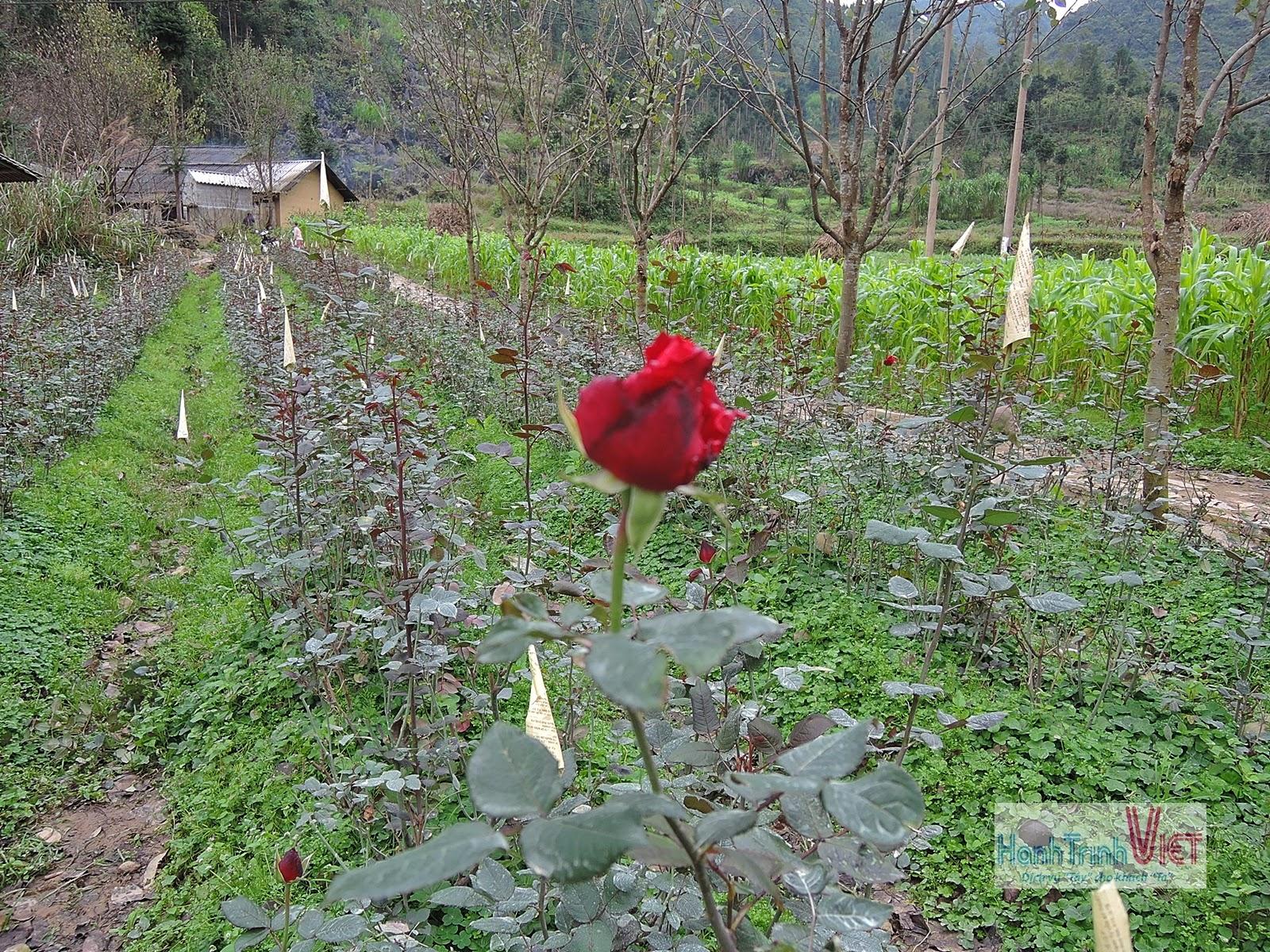 Visite du village Sung La en saison des fleurs de sarrasin
