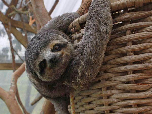 Pengetahuan Tentang Dunia Flora Dan Fauna Sloth Berjari Tiga Juga