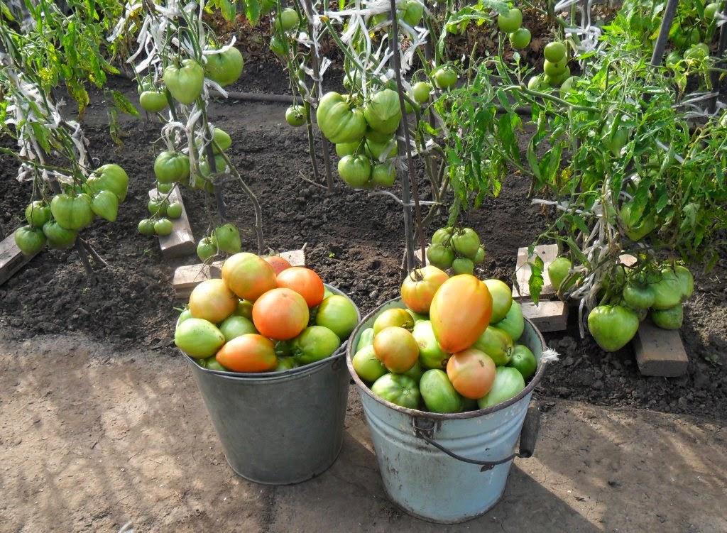 Урожай помидоров с некопанного участка