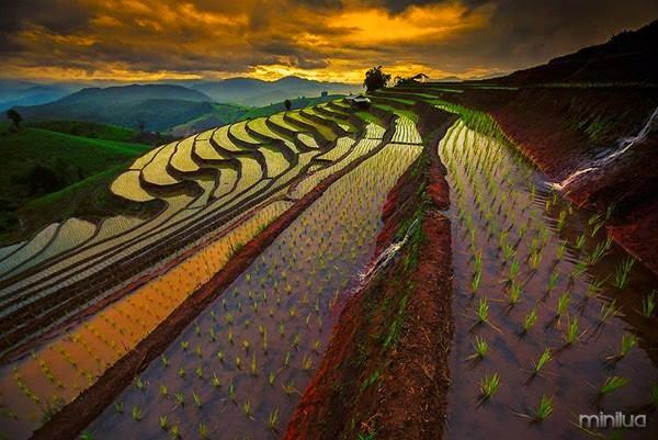 A beleza dos arrozais