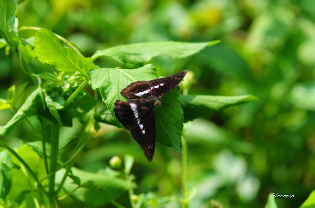雞南山散步,單帶蛺蝶