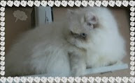 Lilac Cream  Point Himalayan Cat
