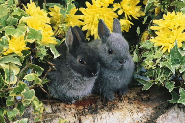 Cute Black Rabbits