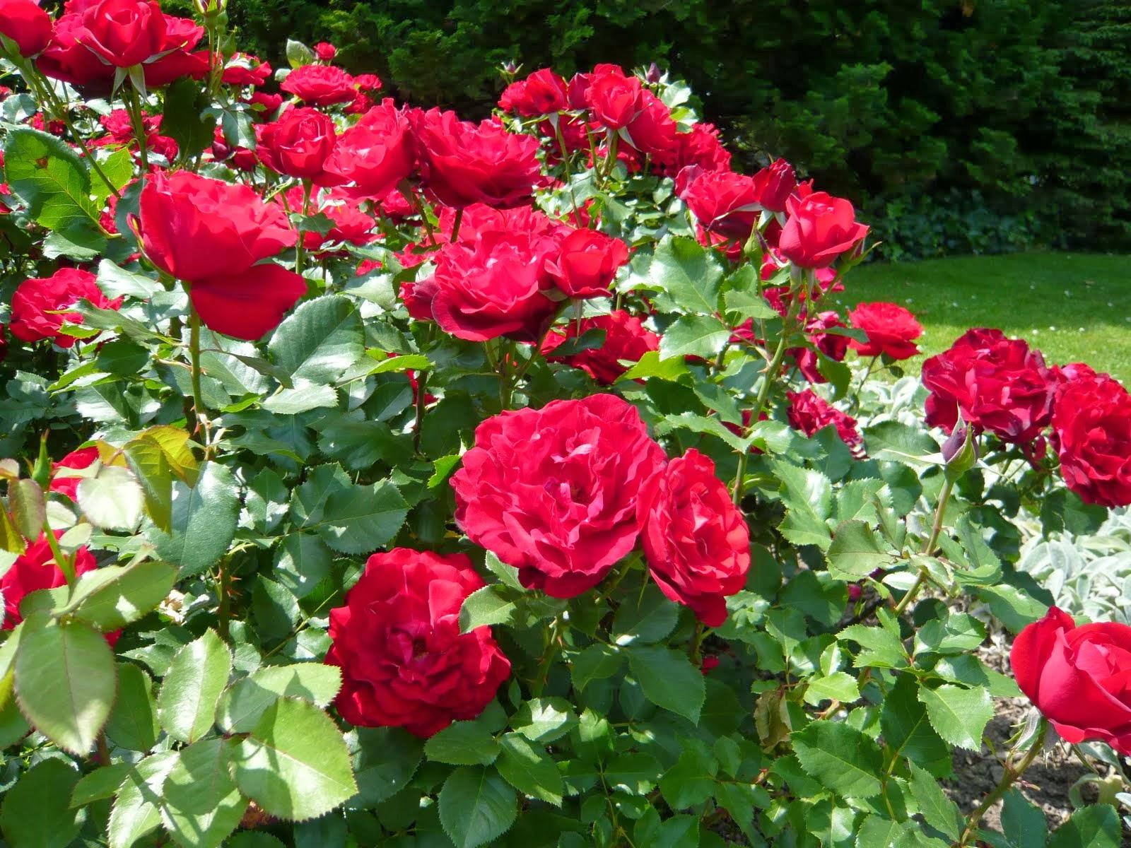 jardim rosas vermelhas:Jardim de Stefania: * O jardim da minha avó